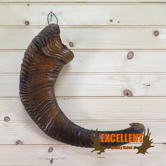 bighorn sheep horn for sale