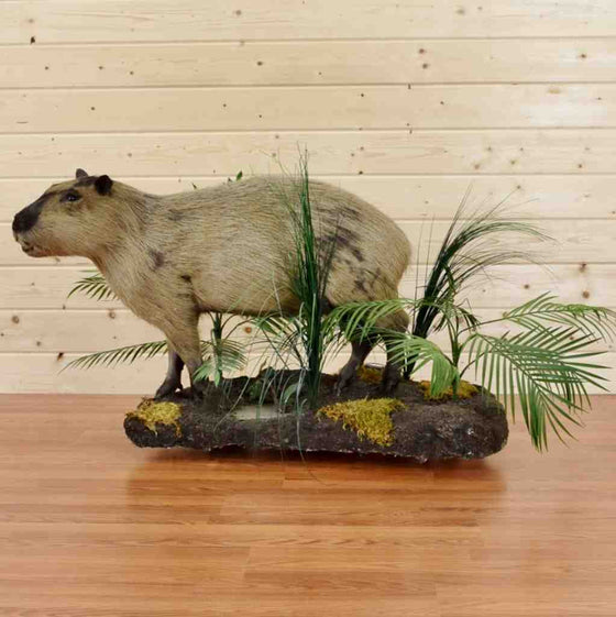 Capybara Full Body Taxidermy Display