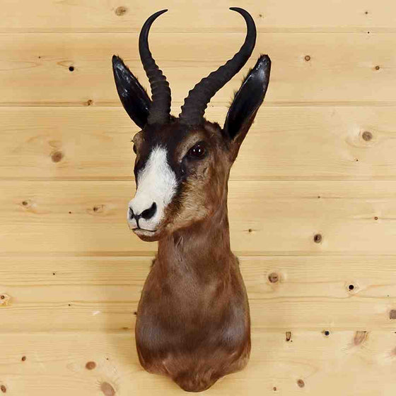 Chocolate Springbok Taxidermy