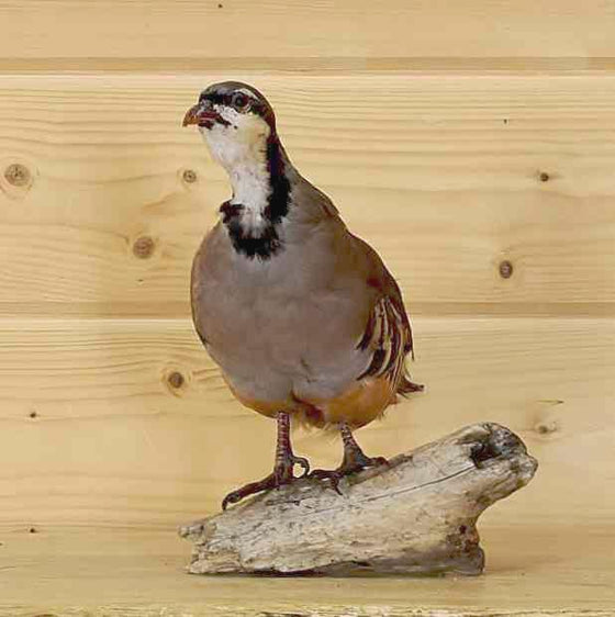 Chukar Taxidermy mount for sale