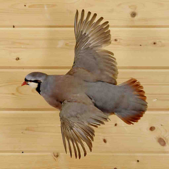 Chukar Taxidermy