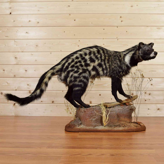 Civet Cat Taxidermy