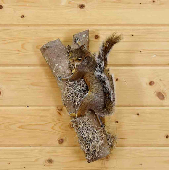 Gray Squirrel Taxidermy for Sale