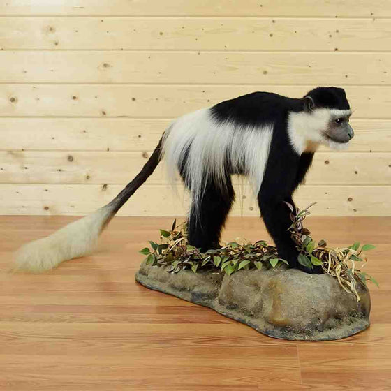 Colobus Monkey Taxidermy