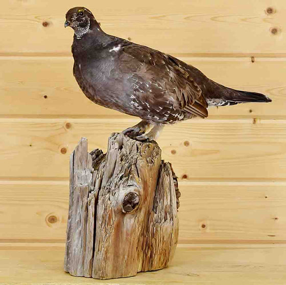 Dusky Grouse Taxidermy Mount for Sale
