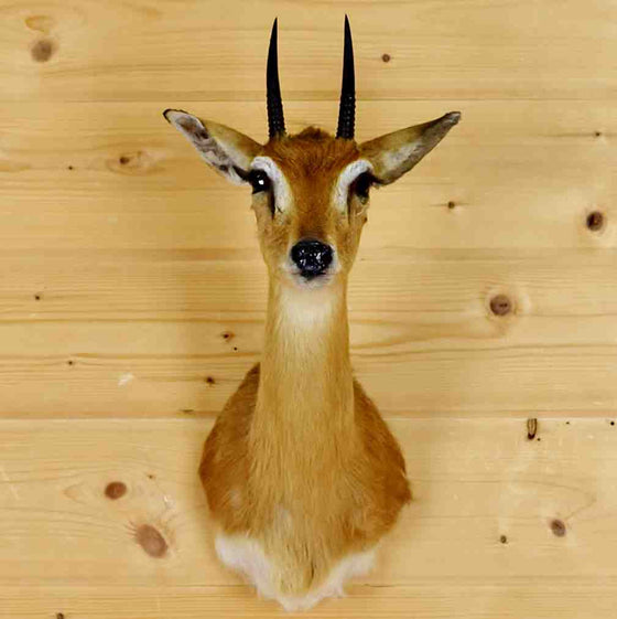 Steenbok Taxidermy Mount for Sale - Africa