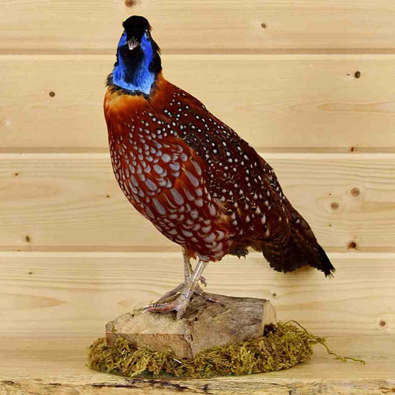 Tragopan Pheasant Mount for Sale