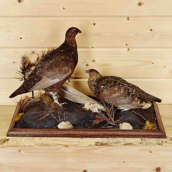 Ptarmigan birds for sale