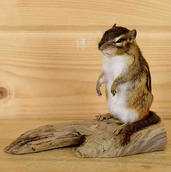 Chipmunk Taxidermy Mount