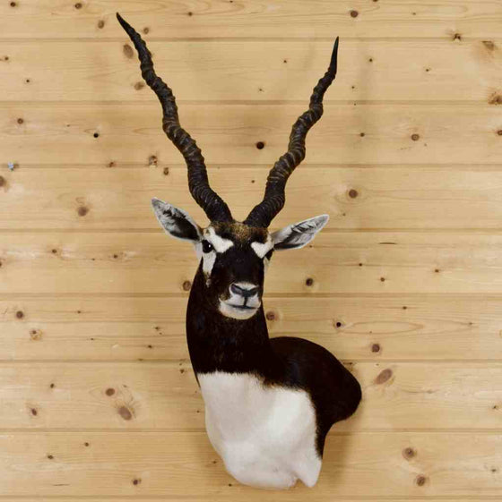 Blackbuck Taxidermy Mount