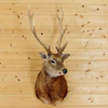 Sika Deer Taxidermy Mount