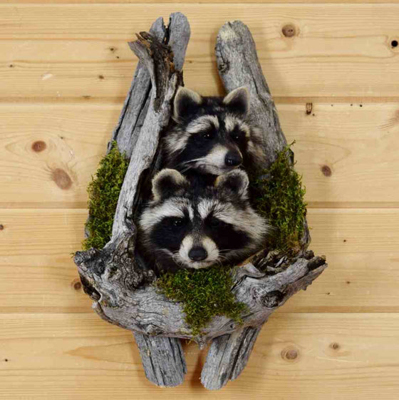 raccoons in logs
