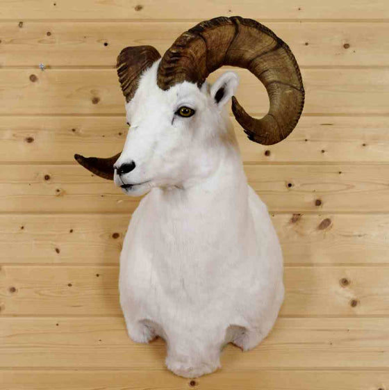 Dall Sheep Taxidermy Mounts for Sale