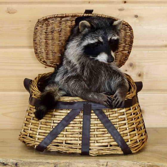 Raccoon in Fishing Creel