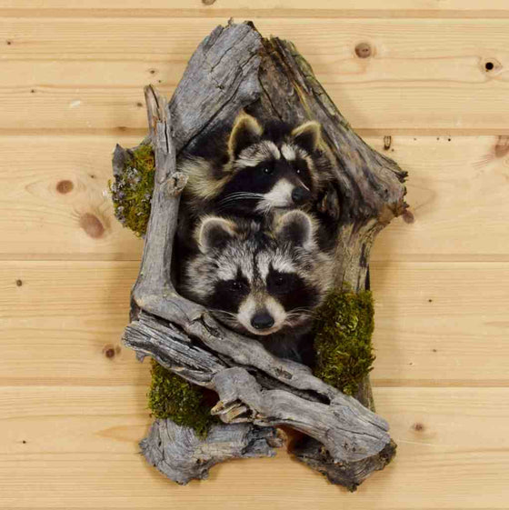 Raccoon Taxidermy for Sale - Gift Ideas