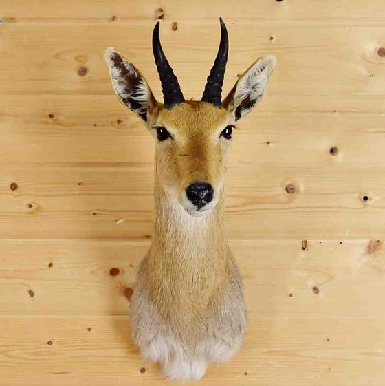 Mountain Reedbuck Taxidermy Mount