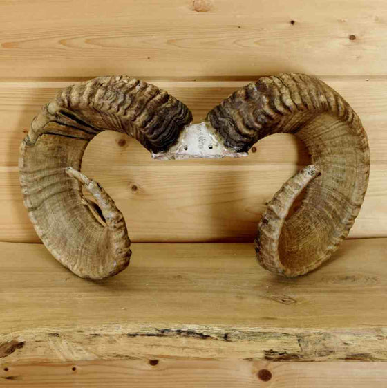 Sheep Horns for Sale