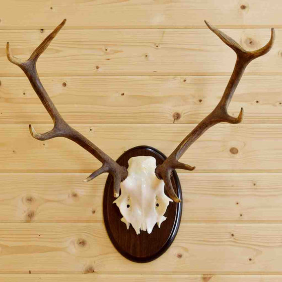 Red Stag Horn Mount for Sale