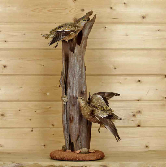 African Bird Taxidermy for SAle