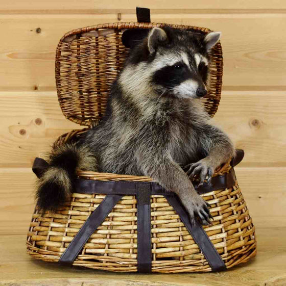 Raccoon Taxidermy Mount