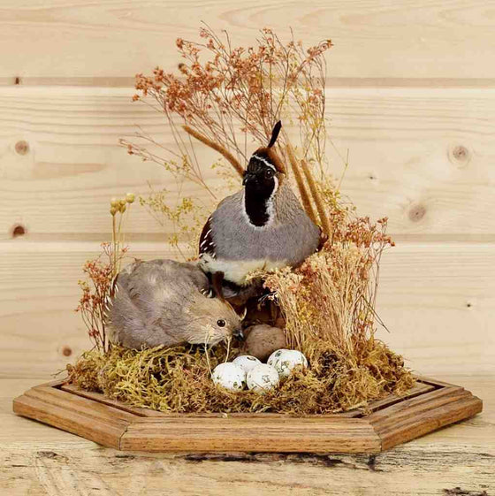Quail pair with Eggs Taxidermy Display