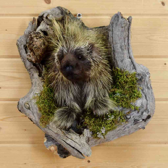Porcupine taxidermy