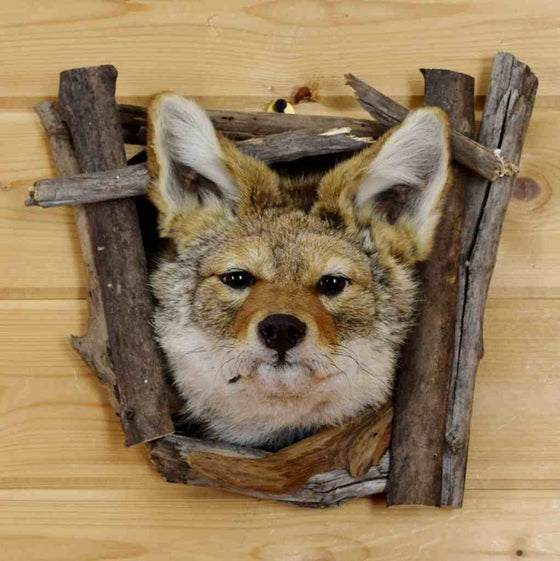 Novelty Taxidermy Mounts And Gift Ideas At Safariworks Taxidermy Sales