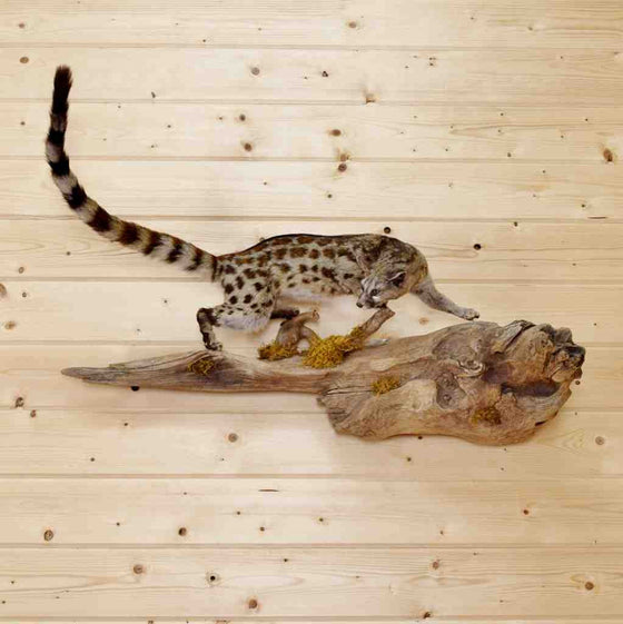 Genet Cat Full Body Taxidermy Mount
