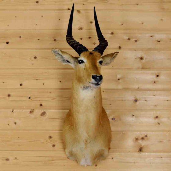 Puku Taxidermy Mount