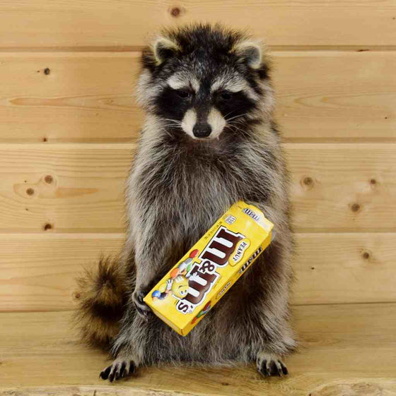 candy coon mount