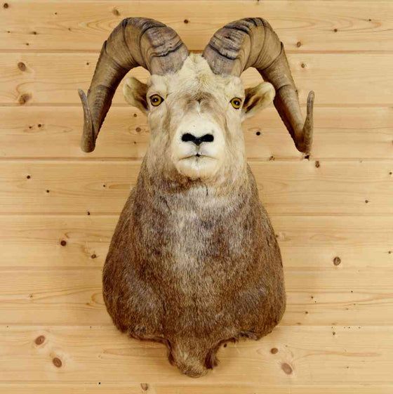 Stone Sheep Taxidermy Mount