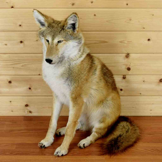 Coyote Taxidermy Mounts for Sale