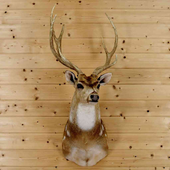 Axis Deer Taxidermy for Sale at Safariworks