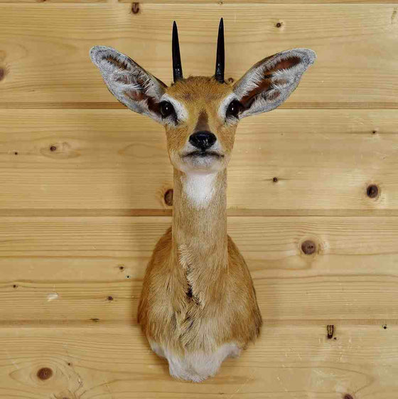 Steinbok Taxidermy for Sale