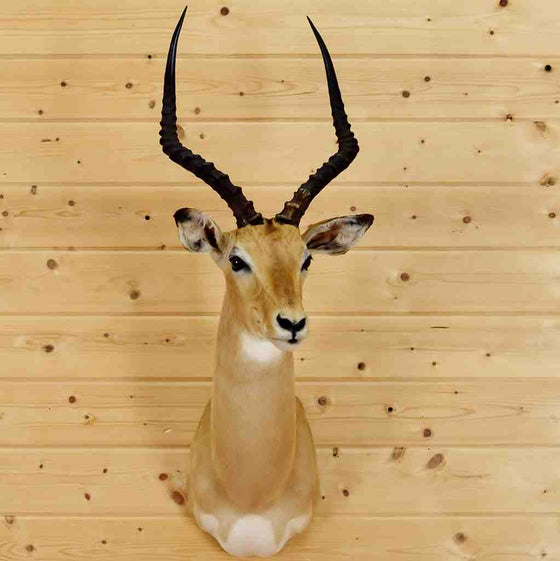 Impala Taxidermy for Sale