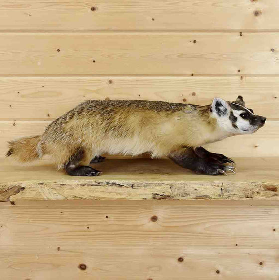 Badger Taxidermy Mount for Sale