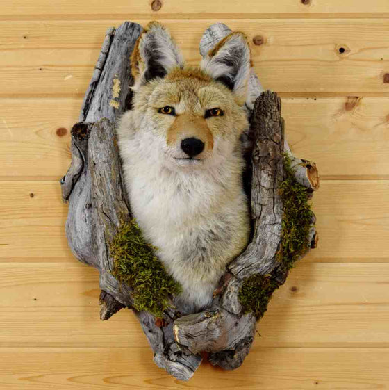 coyote head mounted in log