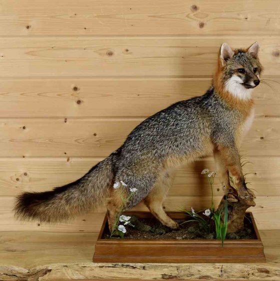 Gray Fox Taxidermy Mount