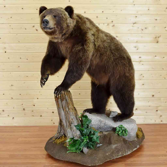 Grizzly Bear Taxidermy Mount