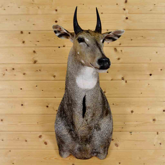 Nilgai Hunting Trophy for Sale