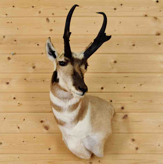 Pronghorn Taxidermy Mount