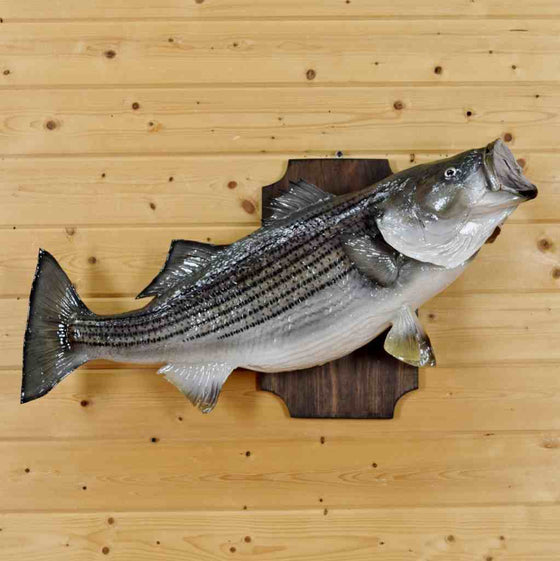 striped bass fish