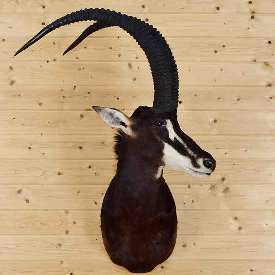 Sable Taxidermy for Sale