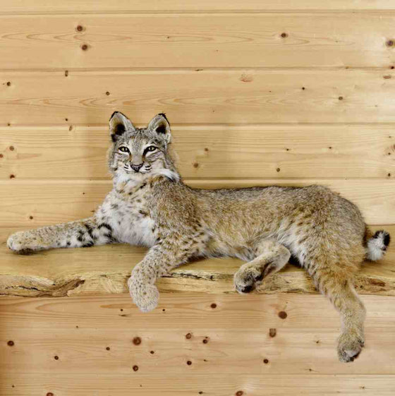 Bobcat Taxidermy