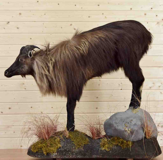 New Zealand Thar Taxidermy Mount
