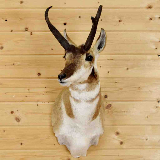 Pronghorn Taxidermy mount for sale