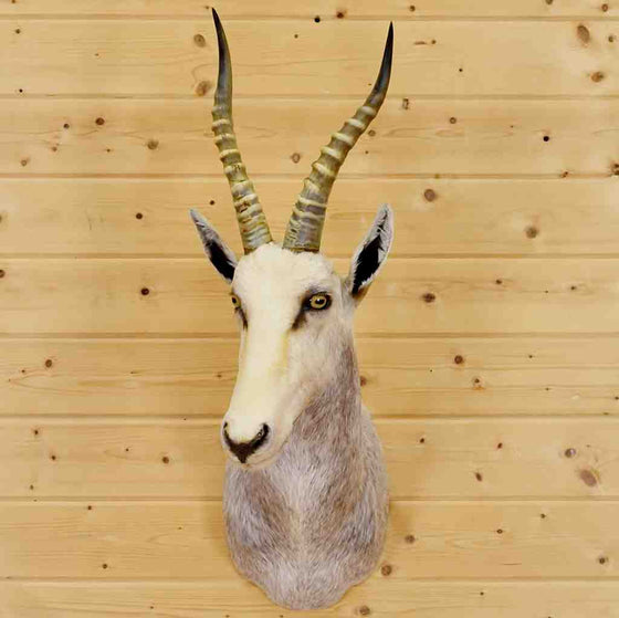 White Blesbok Taxidermy Mount