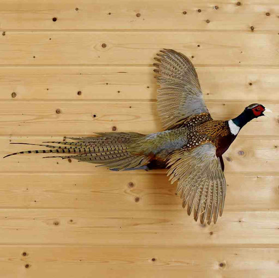 Flying Pheasant Taxidermy Bird Mount - SW6555