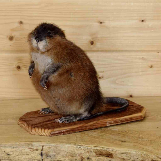 Muskrat Novelty Taxidermy Mounts