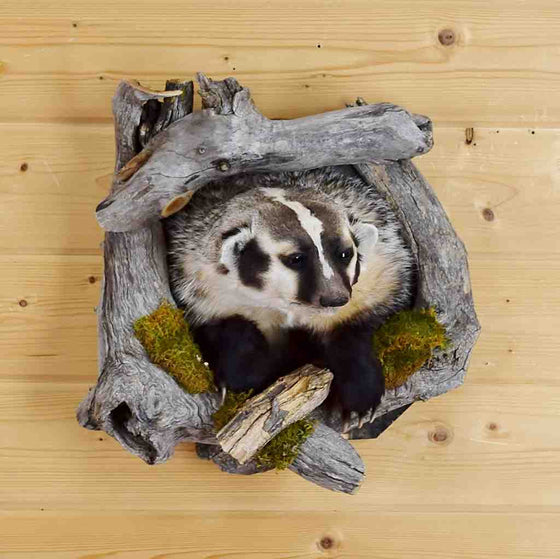 Badger Taxidermy Mount